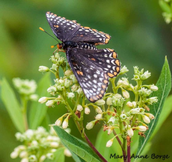 Baltimore Checkerspot drinking nectar from Indian Hemp (Apocynum cannabinum)