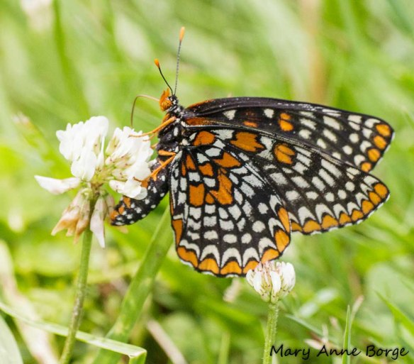 Baltimore Checkerspot drinking nectar from White Clover (Trifolium repens)