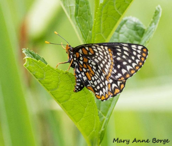 Baltimore Checkerspots, laying eggs (ovipositing)