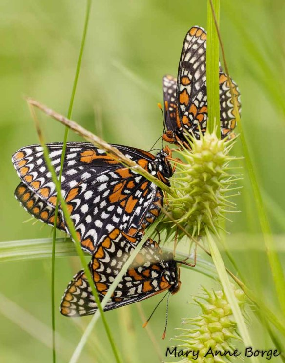 Baltimore Checkerspots, mating, with interloper