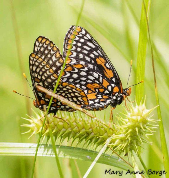 Baltimore Checkerspots, mating