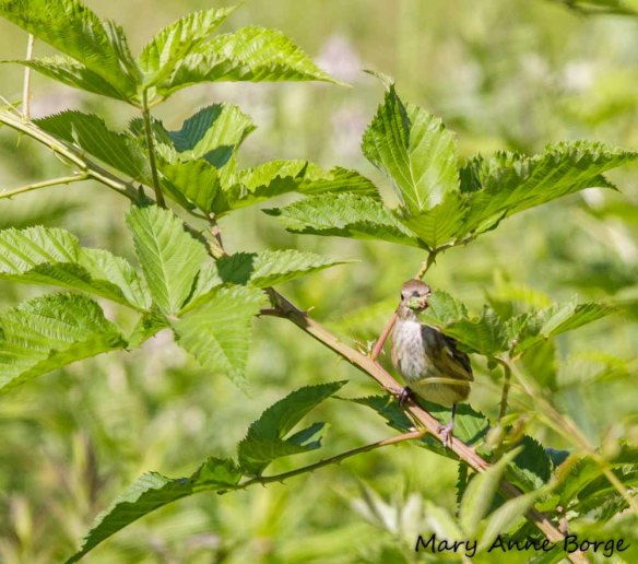 Female Indigo Bunting in Blackberry (Rubus allegheniensis) bramble