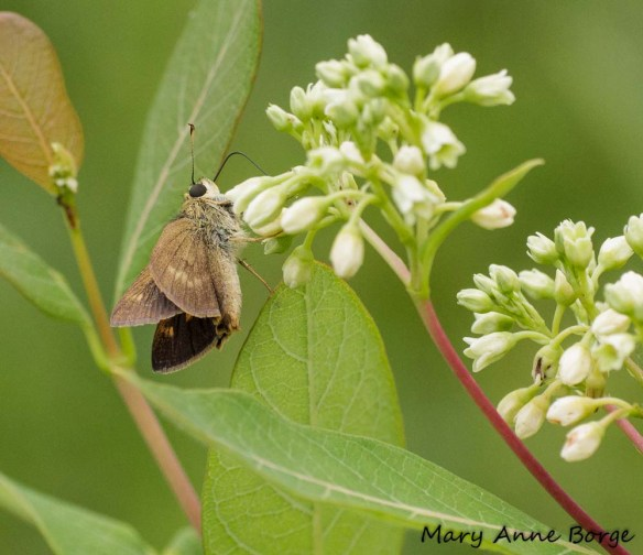 what good is dogbane the natural web
