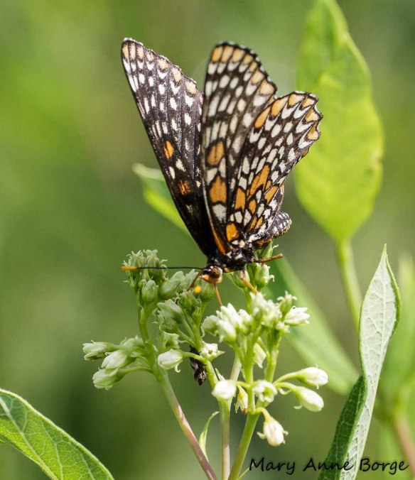 Baltimore Checkerspot on Indian Hemp (Apocynum cannabinum)