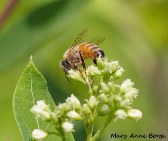 Honey Bee on Indian Hemp (Apocynum cannabinum)