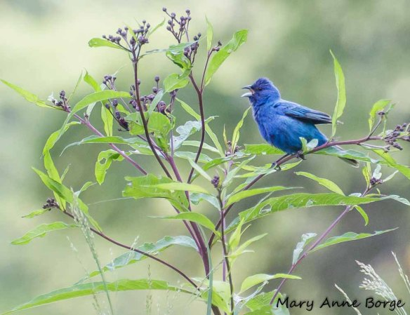 Male Indigo Bunting, singing