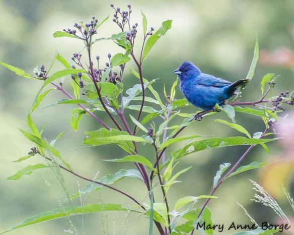 Male Indigo Bunting perched in New York Ironweed (Vernonia noveboracensis)