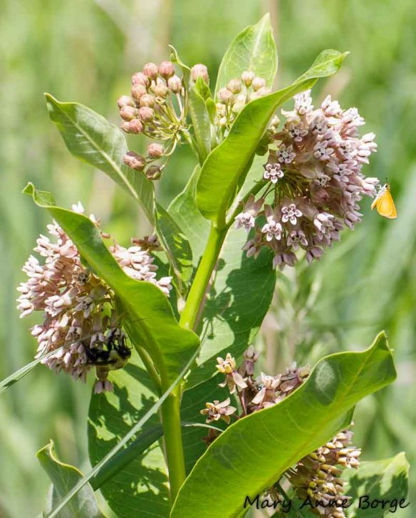 Common Milkweed (Asclepias syriaca) with Least Skipper and Bumble Bee