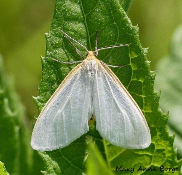 Delicate Cycnia, or Dogbane Tiger Moth(Cycnia tenera)