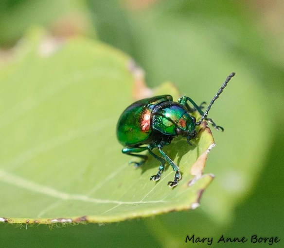 Dogbane Beetle (Chrysochus auratus) on Indian Hemp (Apocynum cannabinum)