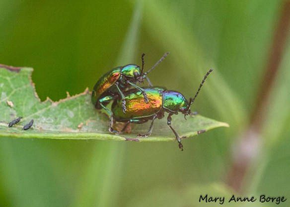 Dogbane Beetles (Chrysochus auratus) mating on Indian Hemp (Apocynum cannabinum)