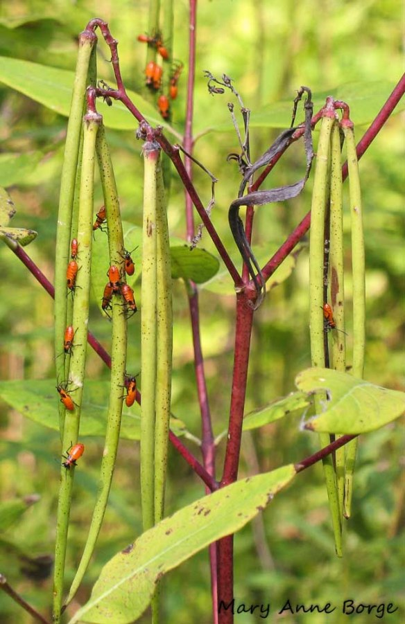 Small Milkweed Bug (Lygaeus kalmii) nymphs on Indian Hemp