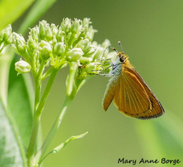 Least Skipper on Indian Hemp (Apocynum cannabinum)