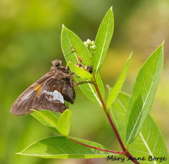 Silver-spotted Skipper on Indian Hemp (Apocynum cannabinum)