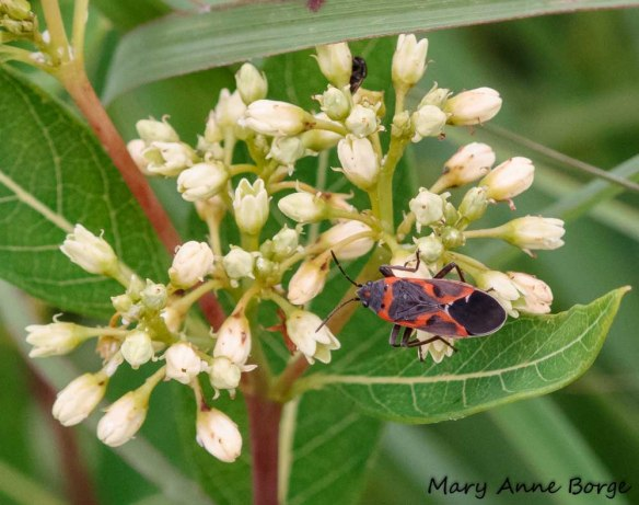 Small Milkweed Bug (Lygaeus kalmii) on Indian Hemp