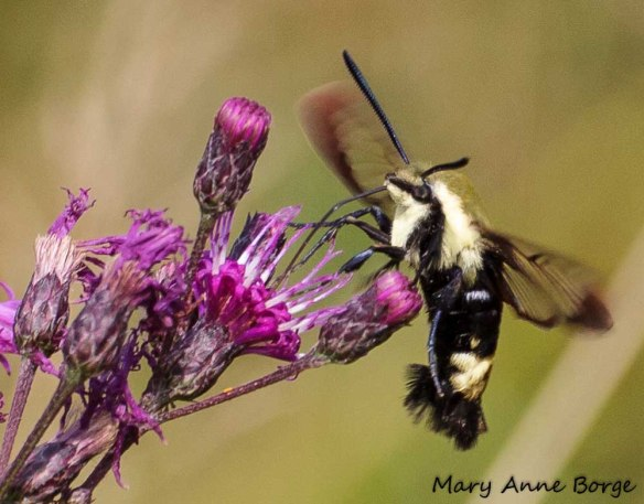 Snowberry Clearwing Moth on Indian Hemp (Apocynum cannabinum)
