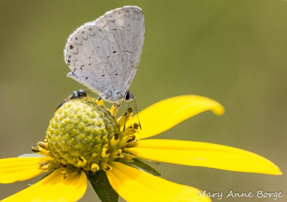 Summer Azure with Green-headed Coneflower (Rudbeckia laciniata)