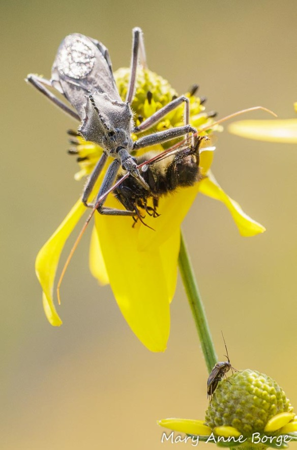 Wheel Bug (Arilus cristatus) consuming a Bumble Bee smoothie