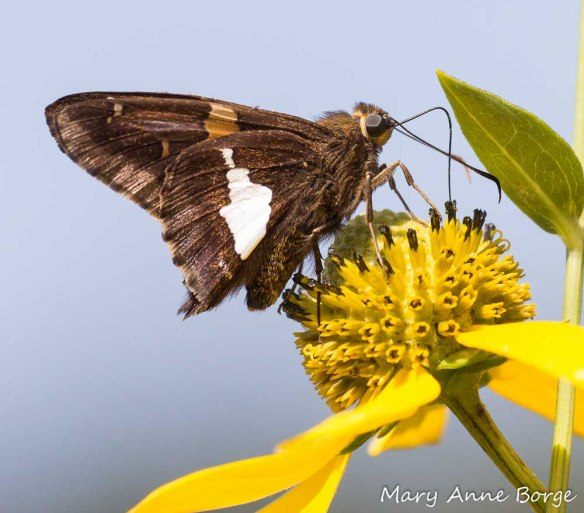 A Silver-spotted Skipper is nectaring on the disk flowers that are in bloom on this Green-headed Coneflower. The lowest disk flowers have finished blooming, while those at the top of the flower cluster are still in bud.