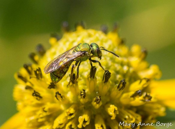 Sweat Bee on Green-headed Coneflower (Rudbeckia laciniata)