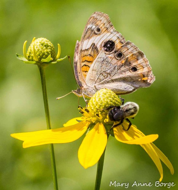 Common Buckeye and Bumble Bee feeding on Green-headed Coneflower (Rudbeckia laciniata)