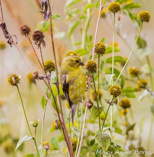 Goldfinch eating Green-Headed Coneflower seeds
