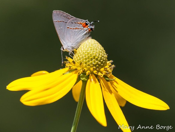 Gray Hairstreak on Green-headed Coneflower (Rudbeckia laciniata)