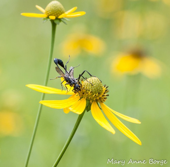 Green-headed Coneflower with mating Wasps (Eremnophila aureonotata)