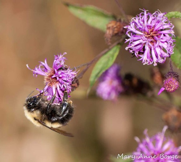 Bumble Bee on New York Ironweed