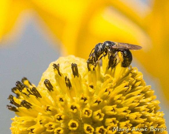 Sweat Bee (Lasioglossum species) on Green-headed Coneflower (Rudbeckia laciniata)