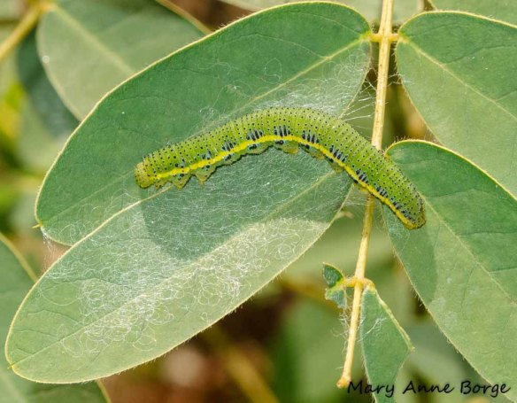 Cloudless Sulphur caterpillar on Wild Senna (Senna hebecarpa)