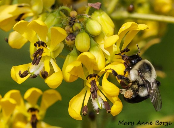 Wild Senna (Senna hebecarpa) with Bumble Bee. Note the pollen on her rear legs.