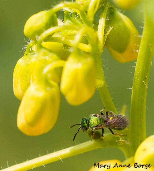 Sweat Bee feeding at an extrafloral nectary on Wild Senna (Senna hebecarpa)
