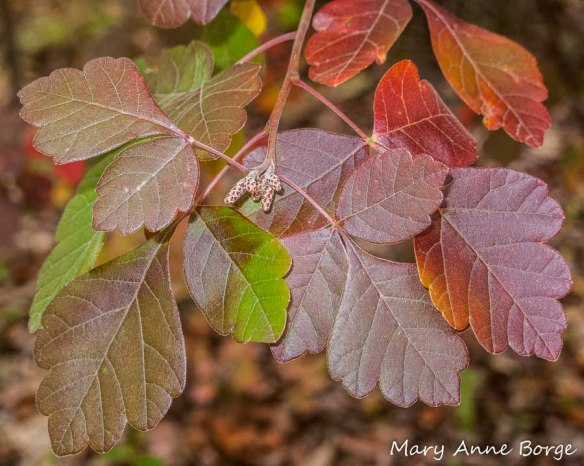 Fragrant Sumac in fall
