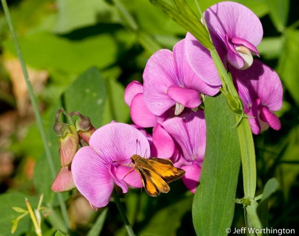 Everlasting Pea (Lathyrus latifolius) with skipper