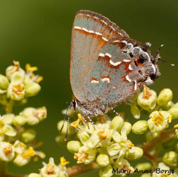 Juniper Hairstreak nectaring on Winged Sumac flowers