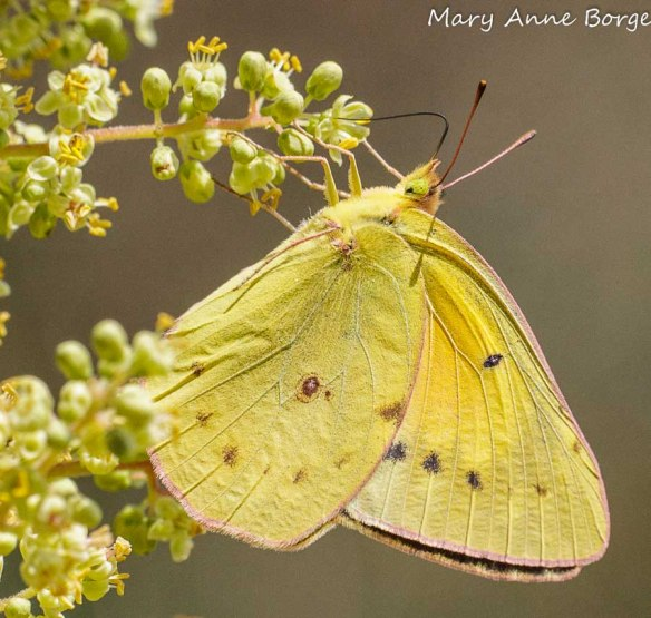 Orange Sulphur nectaring on Winged Sumac flowers