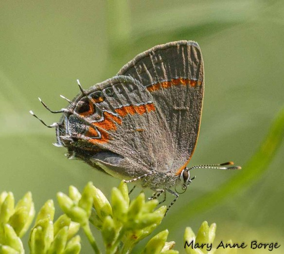 Red-banded Hairstreak on goldenrod flower buds