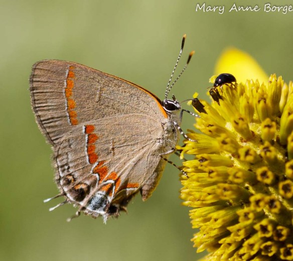 Red-banded Hairstreak and friend nectaring on Green-headed or Cutleaf Coneflower