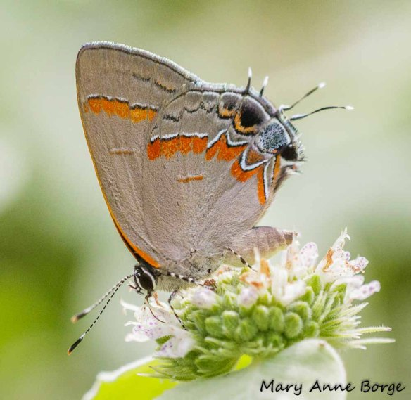 Red-banded Hairstreak nectaring on Short-toothed Mountain Mint