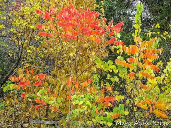 Staghorn Sumac in fall