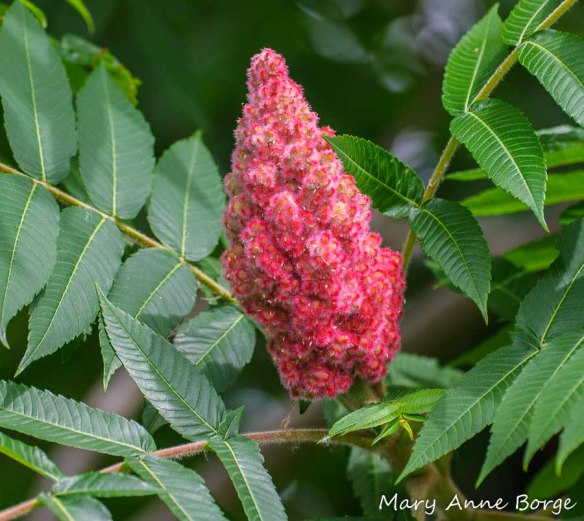 Staghorn Sumac fruit