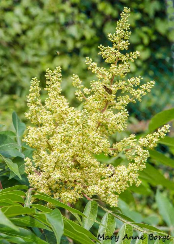 Winged Sumac flowers
