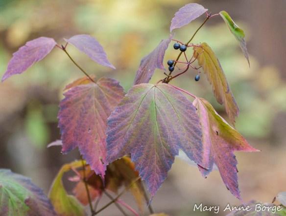 Maple-leaf Viburnum (Vibernum acerifolium)