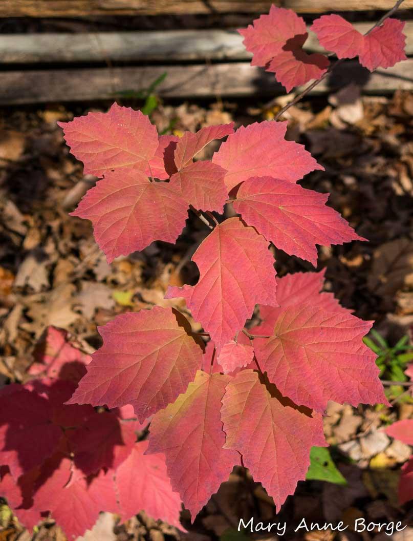 Maple Leaf Pathway Beautiful: Maple-leaf Viburnum