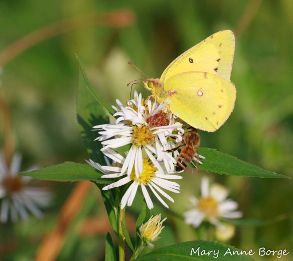 Clouded Sulphur and Honey Bee on Aster