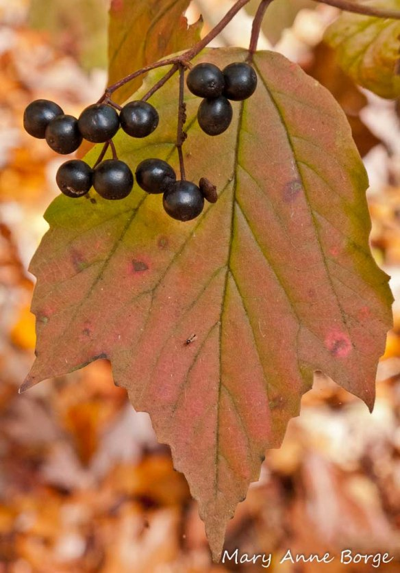 Maple-Leaved Viburnum (Viburnum acerifolium) with fruit
