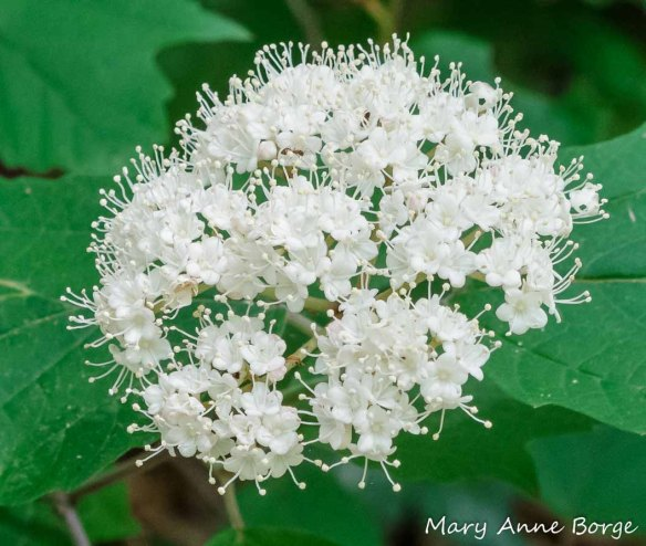 Maple-leaf Viburnum (Vibernum acerifolium) in flower. Look for the ants who are visiting the flowers for nectar. They would also be happy to find a caterpillar.