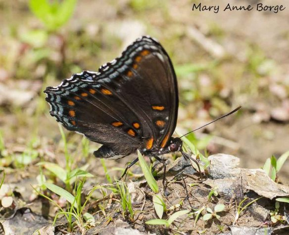 Red-spotted Purple feeding on minerals in mud