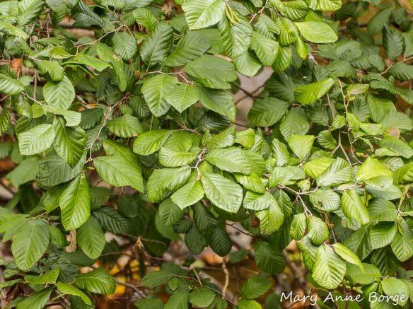 Smooth Alder (Alnus serrulata)